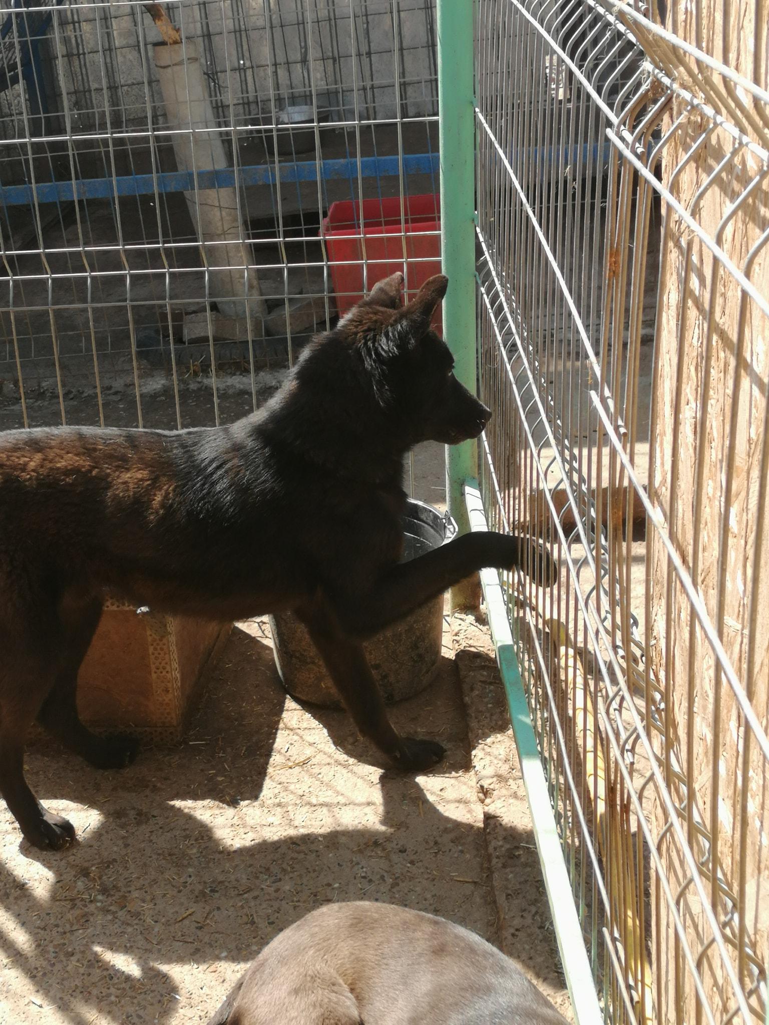 Zorro ca. 45 cm – der Freundliche